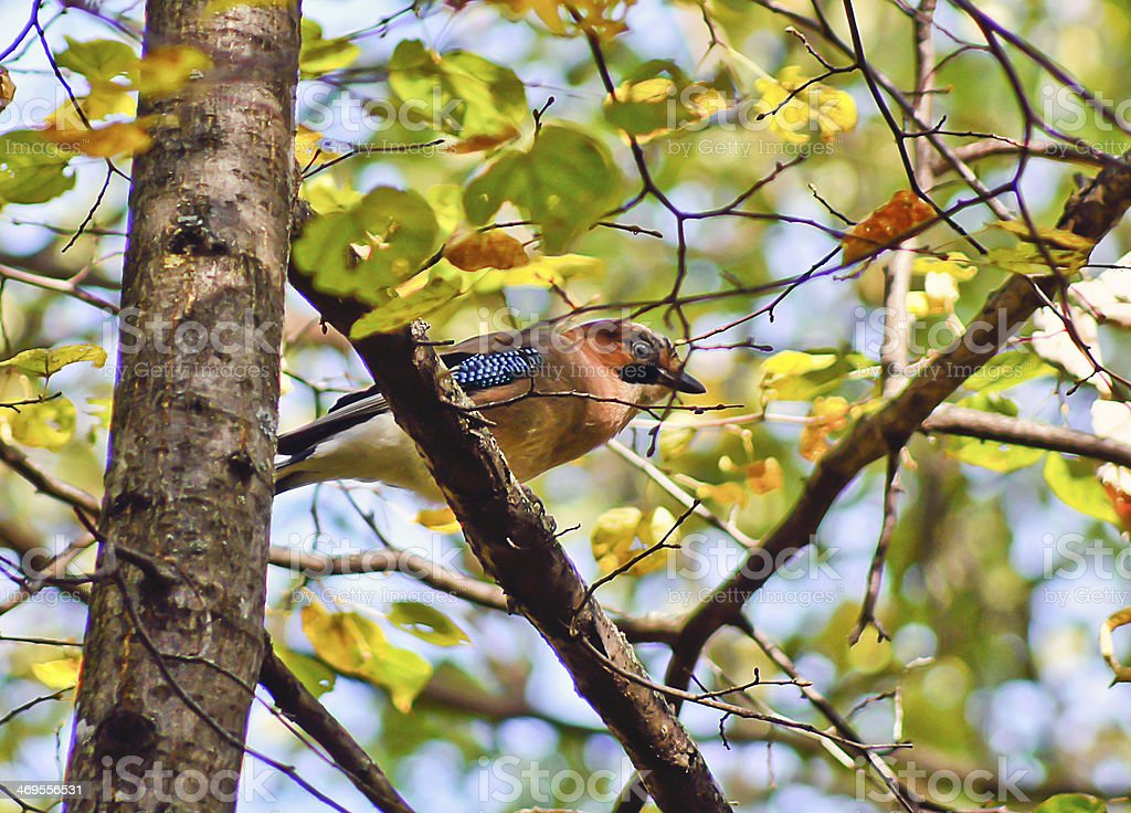 Jay on a tree branch in summer forest. stock photo