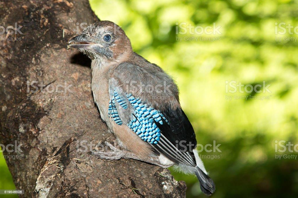 Jay (Garrulus glandarius) stock photo