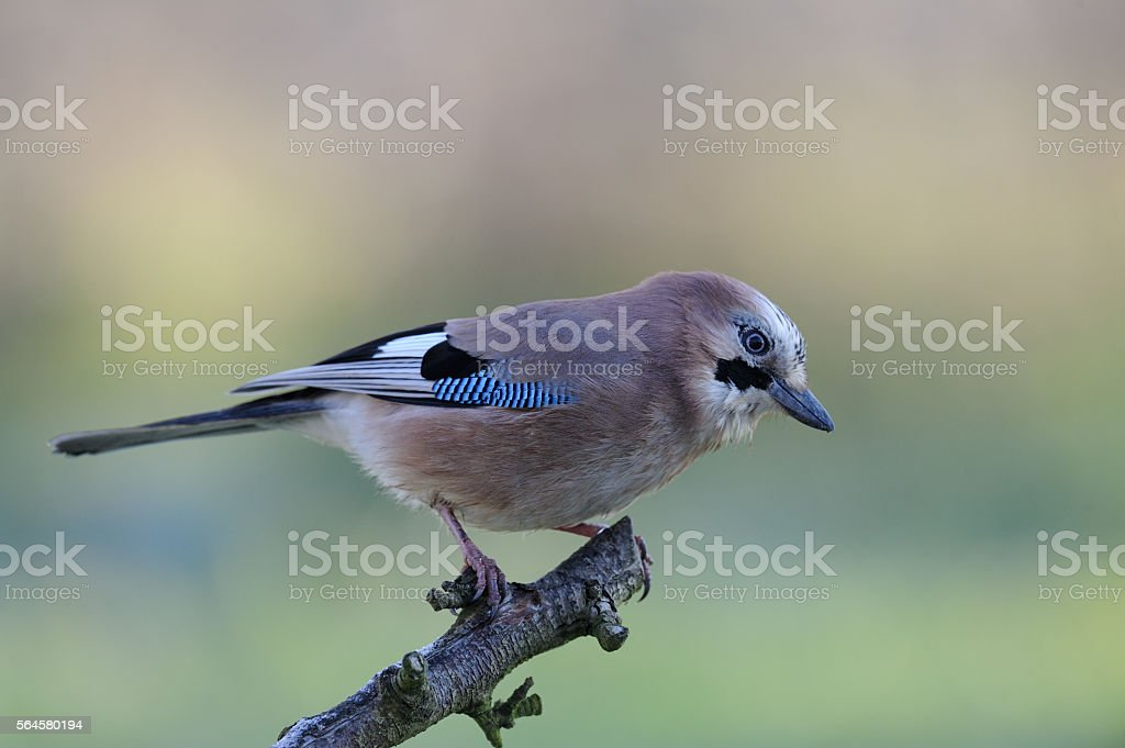 Jay (Garrulus glandarius) stock photo