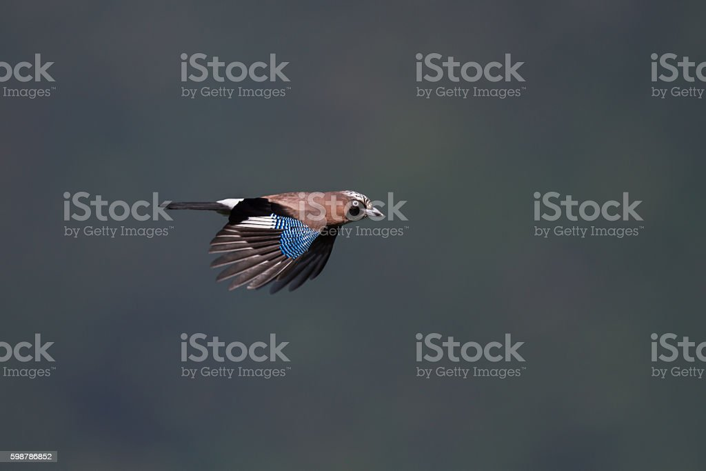 Jay stock photo