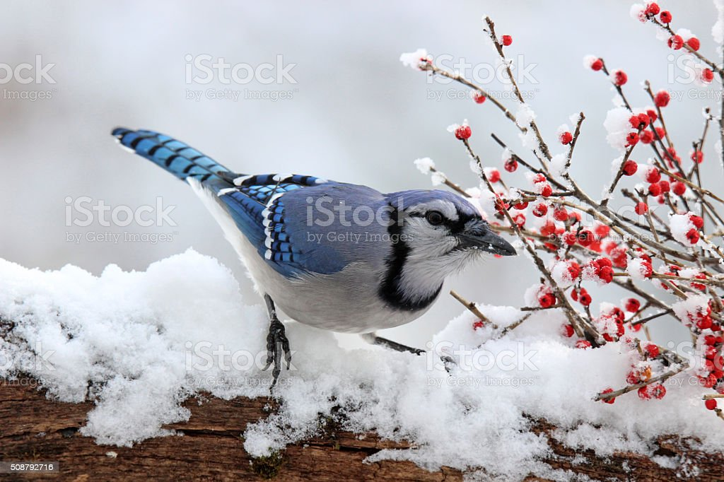 Jay with Winter Berries stock photo