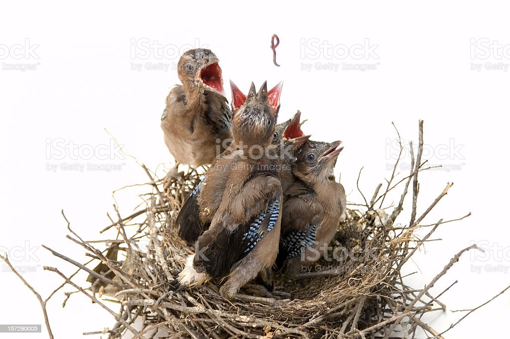 Jays on nest fighting for a worm. royalty-free stock photo