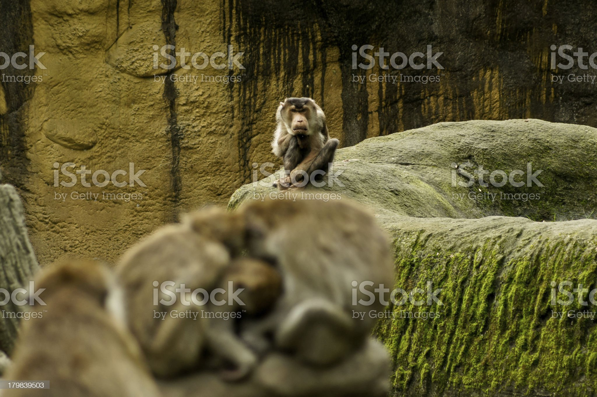 jealous Pig-tailed Macaque royalty-free stock photo