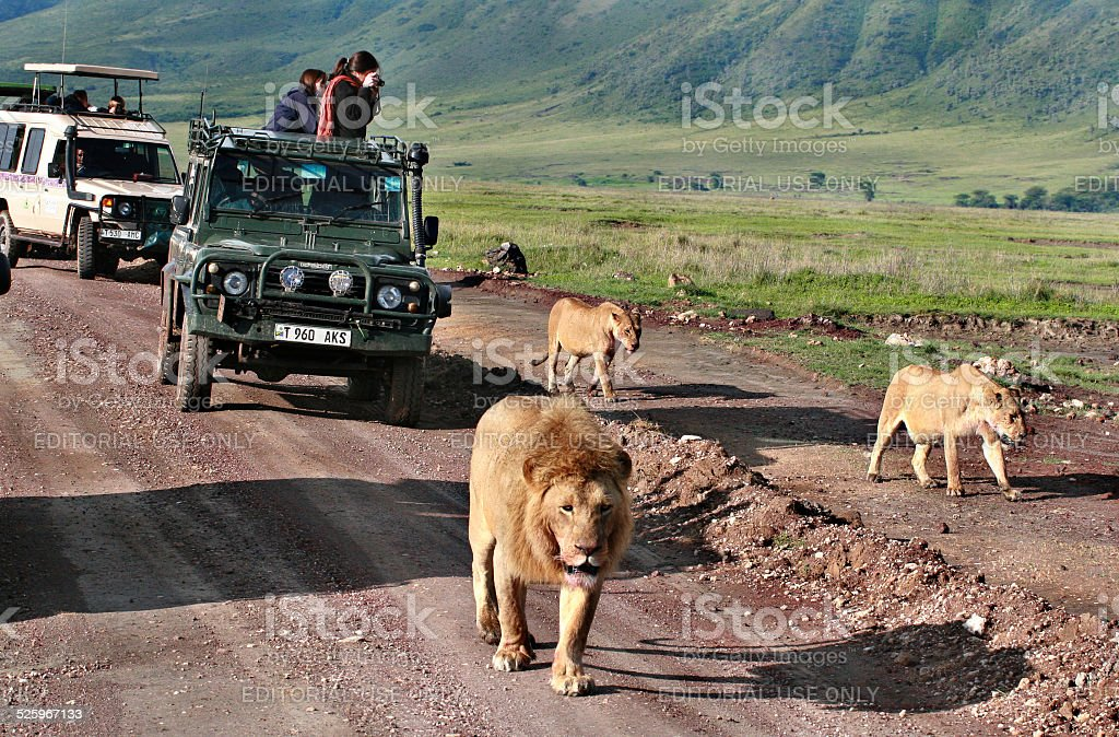 Jeep safari in Africa, travelers, tourists photographed wild lions stock photo