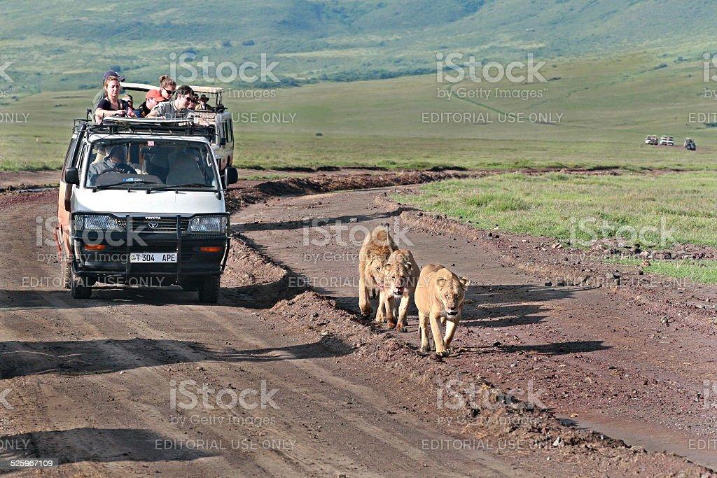 Jeep safari in Ngorongoro, Tanzania, tourists accompany family of lions. stock photo