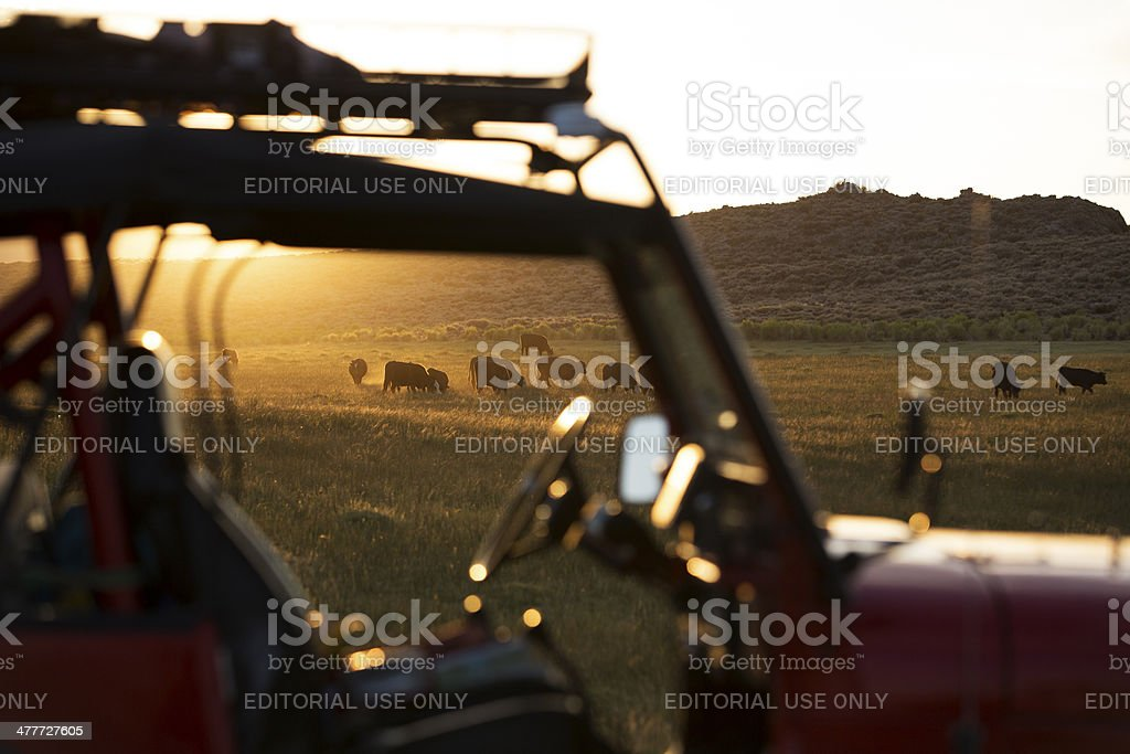 Jeep Wrangler and Cattle in Pasture stock photo