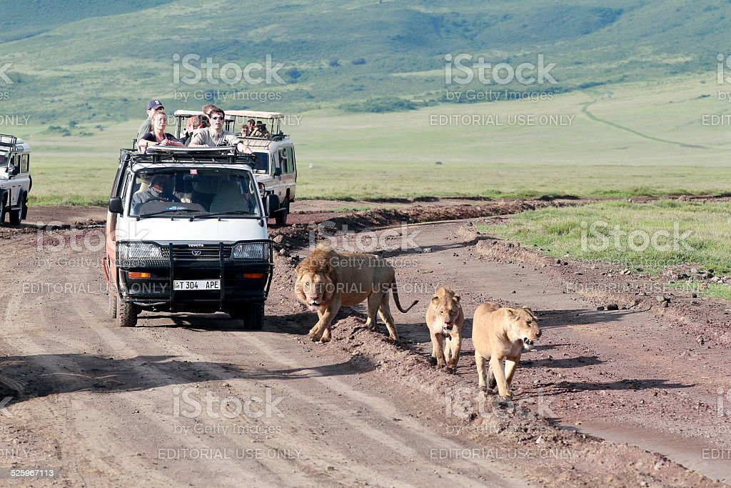Jeeps with tourists traveling on  road for  pride of lions. stock photo