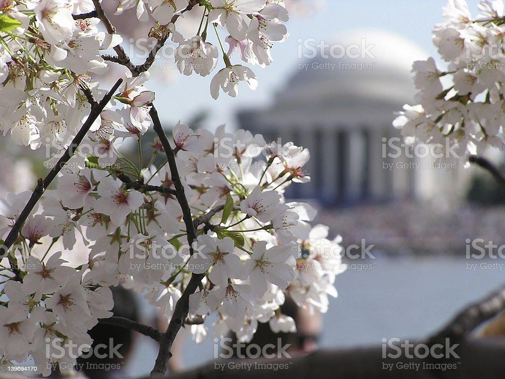 Jefferson Memorial- Cherry Trees royalty-free stock photo