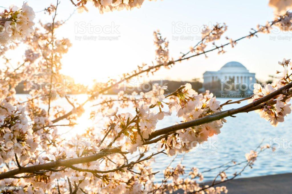 Jefferson Memorial through the cherry blossoms stock photo