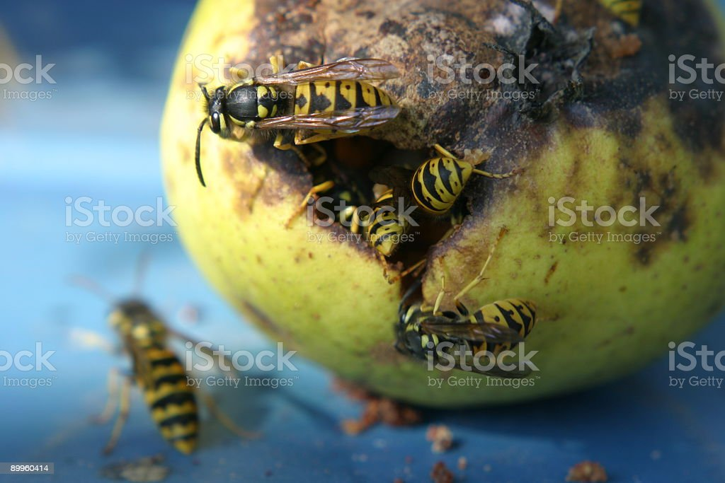 Jellow Jacks (or Wasps) on a pear royalty-free stock photo