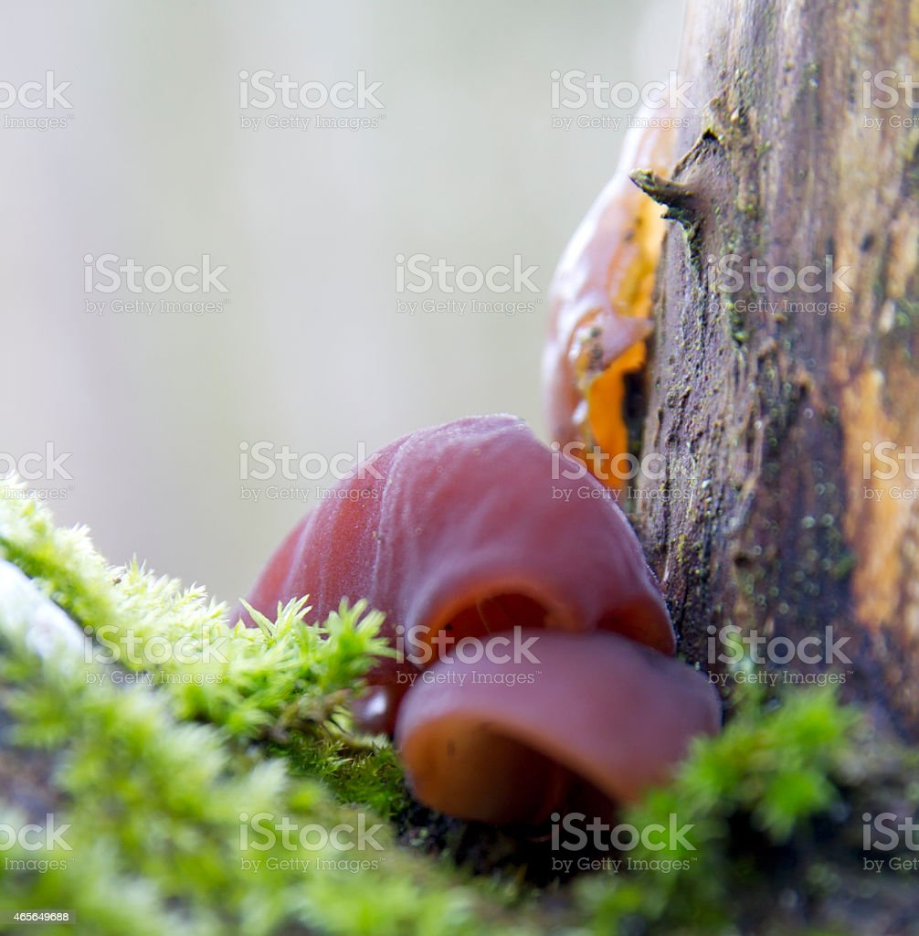 Jelly Ear Mushroom (Auricularia auricula-judae) stock photo