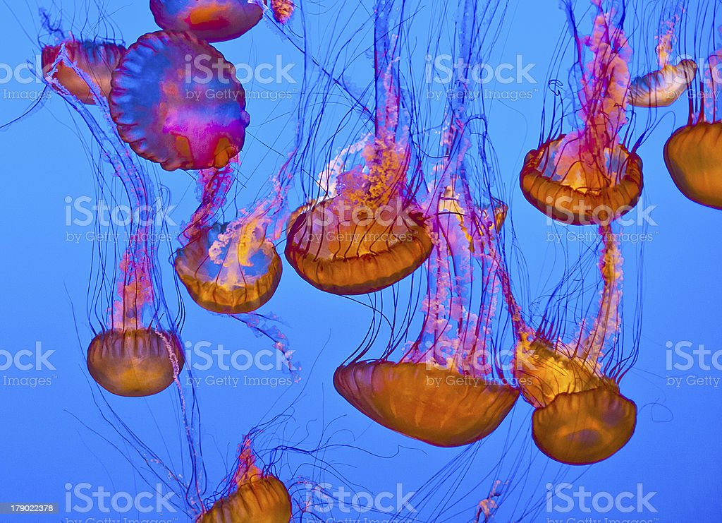 jelly fish in the blue ocean royalty-free stock photo