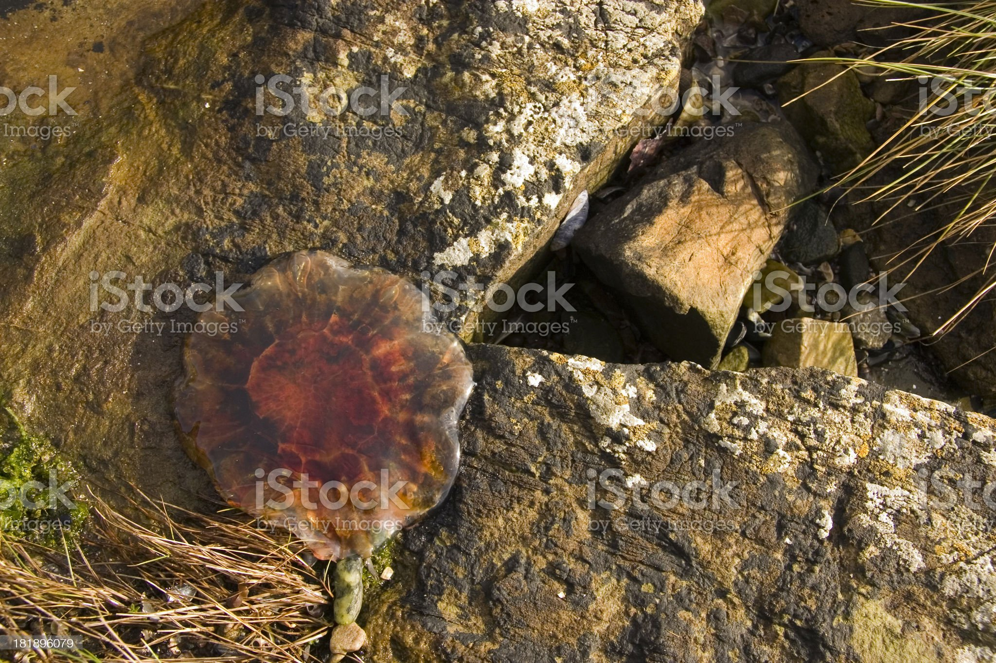Jelly fish on the rocks royalty-free stock photo
