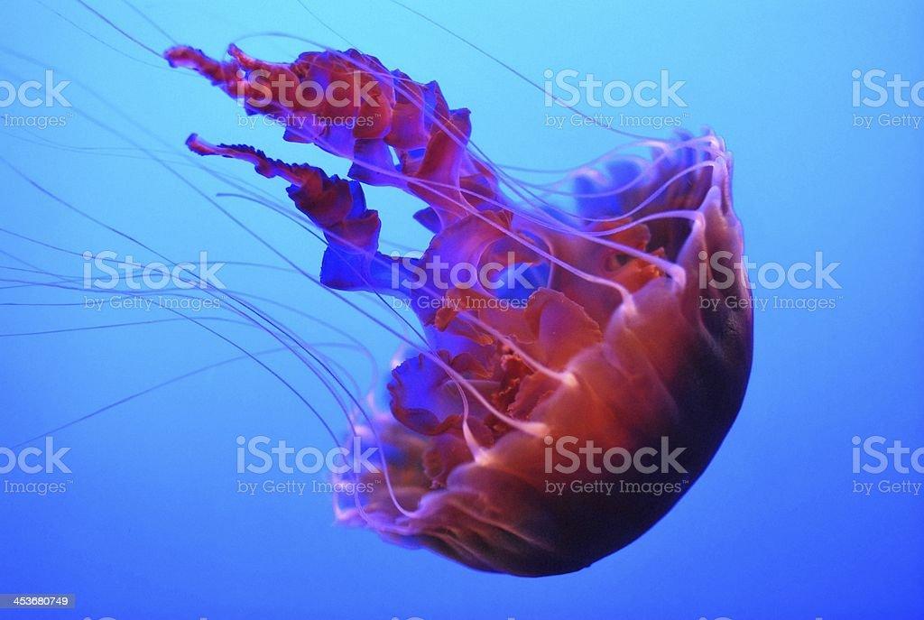 Jelly fish royalty-free stock photo