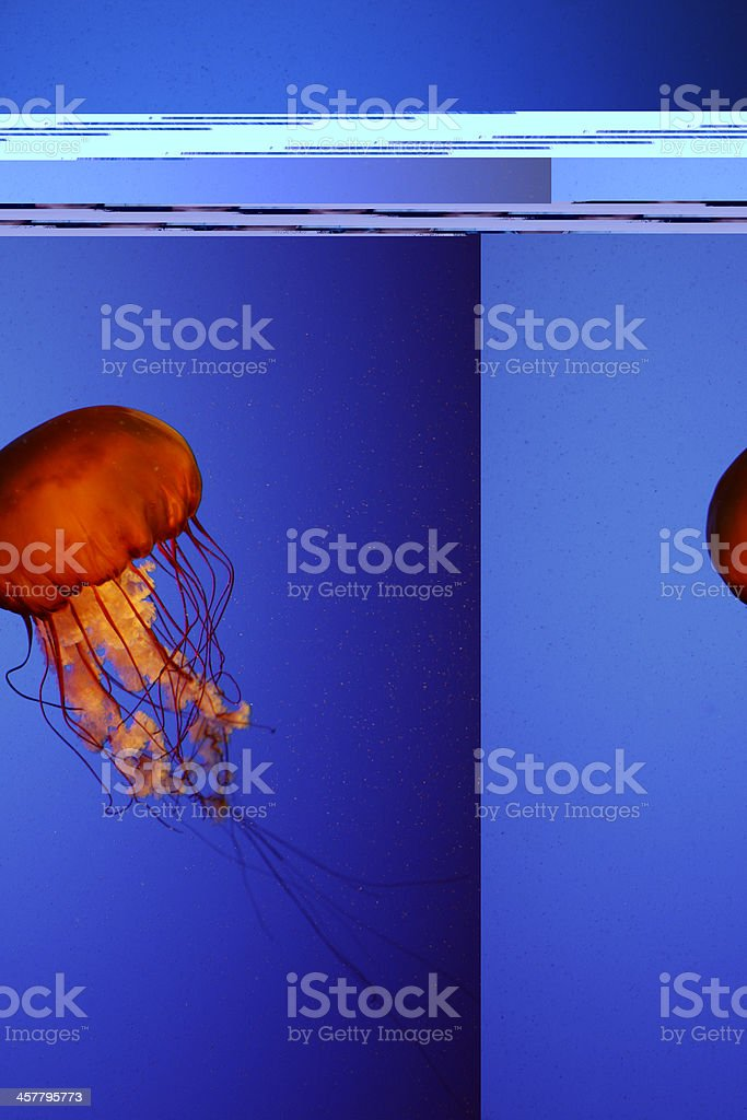 Jelly Fish royalty-free stock photo