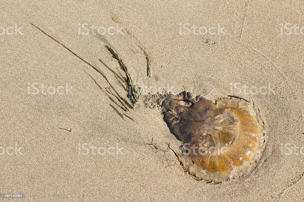 Jelly fish with seaweed royalty-free stock photo