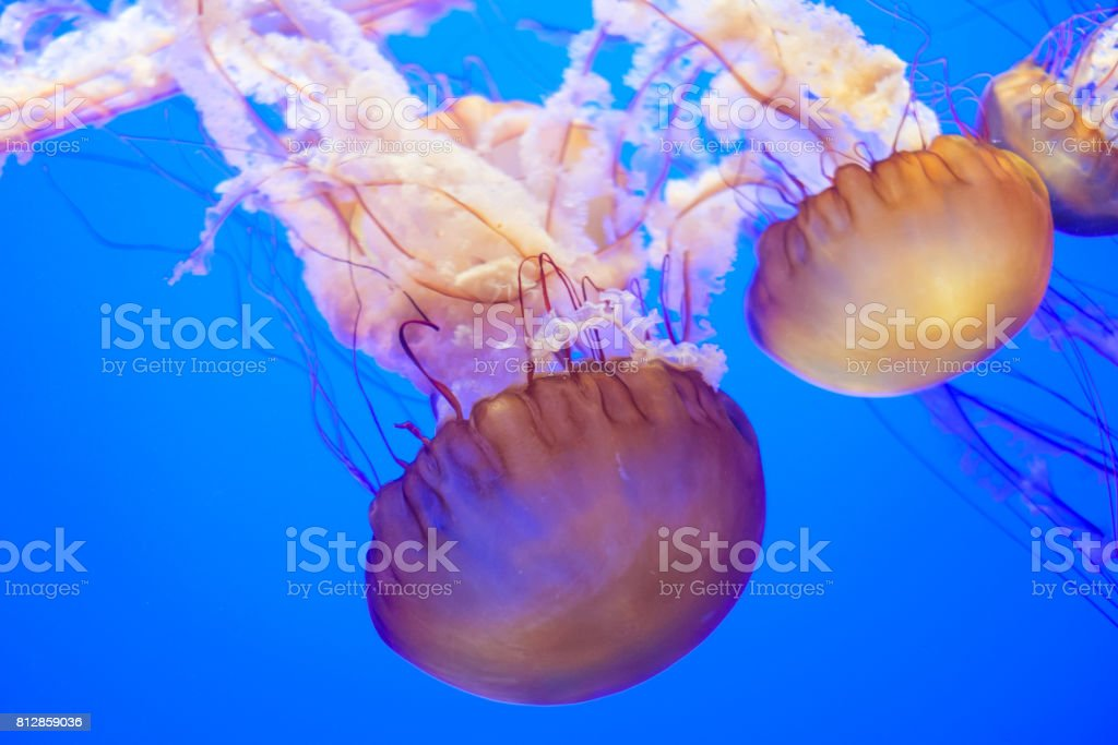 Jelly Fishes stock photo
