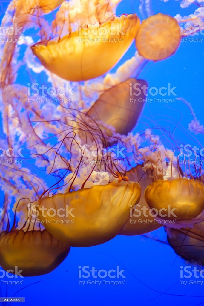 Jelly Fishes swimming together stock photo