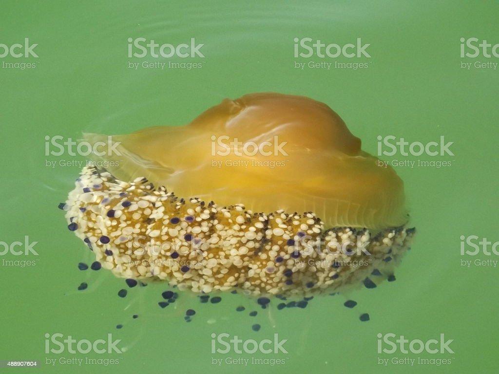 Jellyfish Cotylorhiza tuberculata Fried Egg Jellyfish royalty-free stock photo