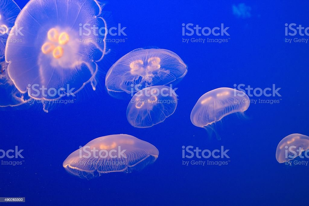 Jellyfish, following the Mothership stock photo
