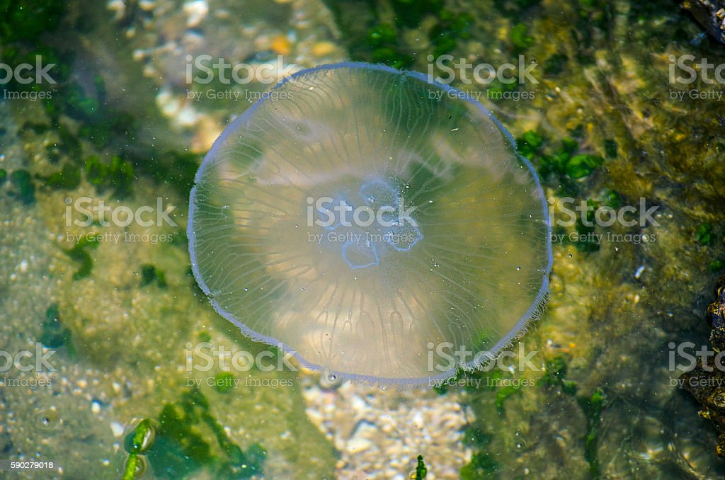 Jellyfish in the water stock photo