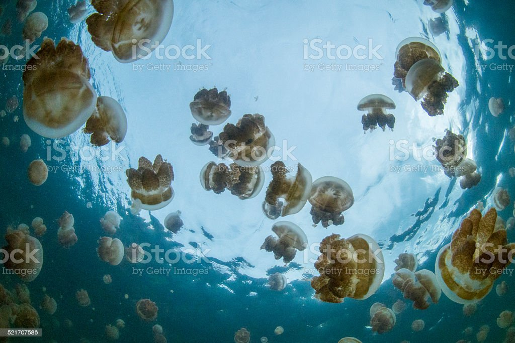Jellyfish Lake, Rock Islands - Palau stock photo