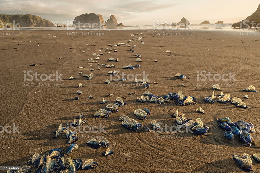 JellyFish (velella velella) on Bandon Beach stock photo