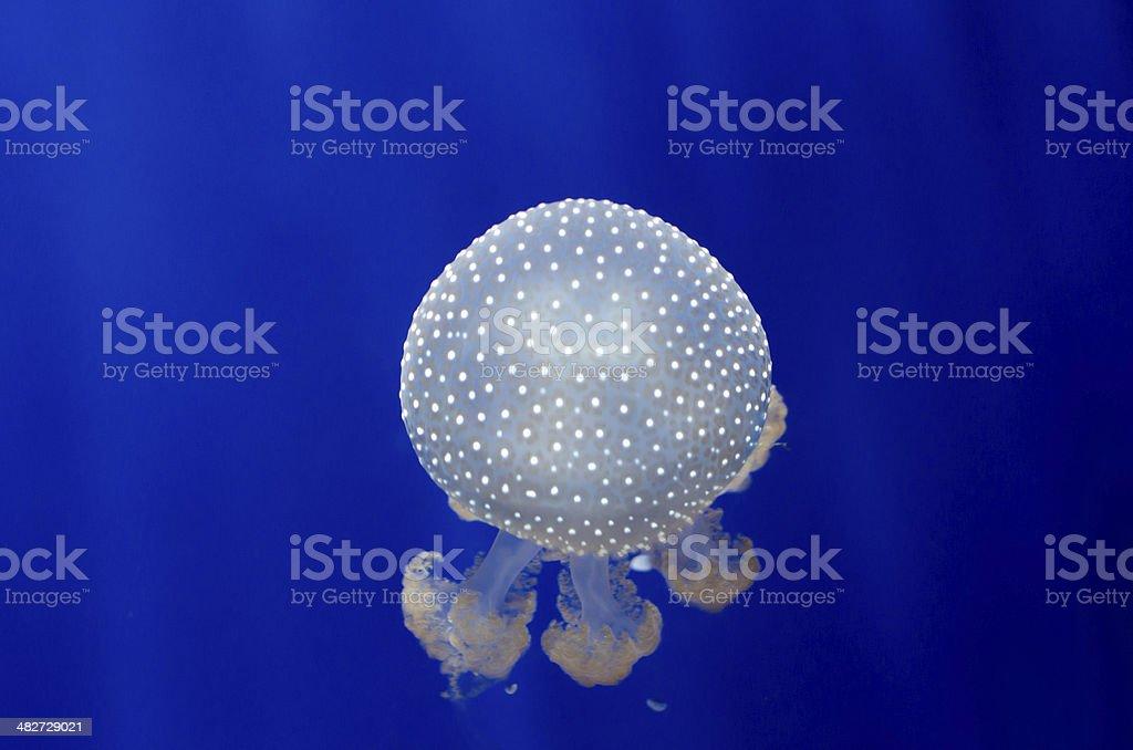 Jellyfish on blue 2 royalty-free stock photo
