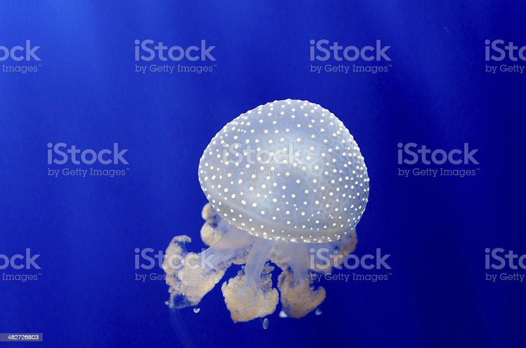 Jellyfish on blue 3 stock photo