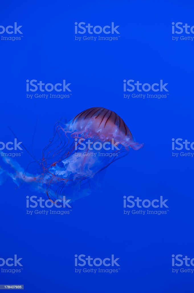 Jellyfish on blue background royalty-free stock photo