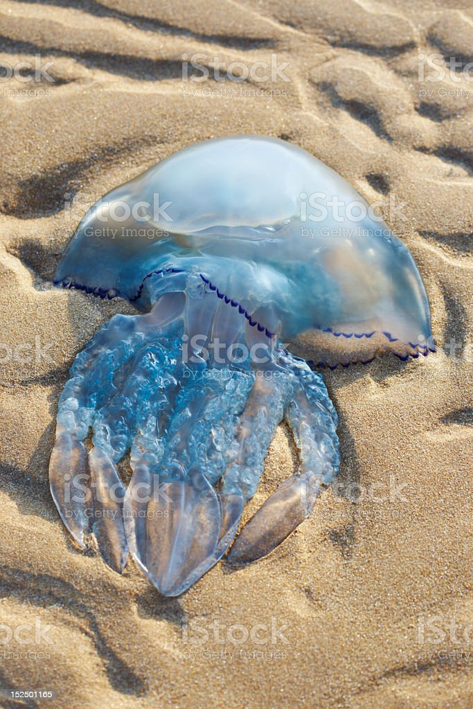 Jellyfish on the sand royalty-free stock photo