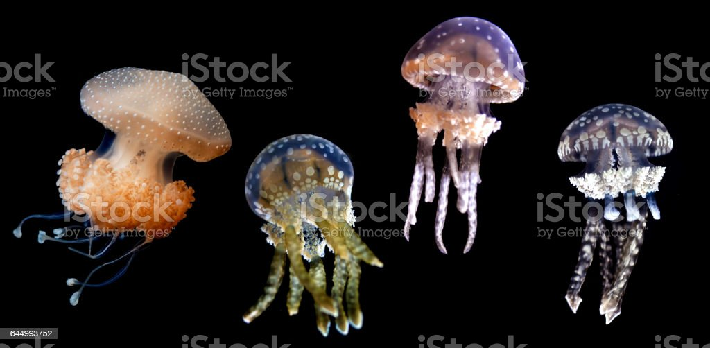 Jellyfish species over black background stock photo