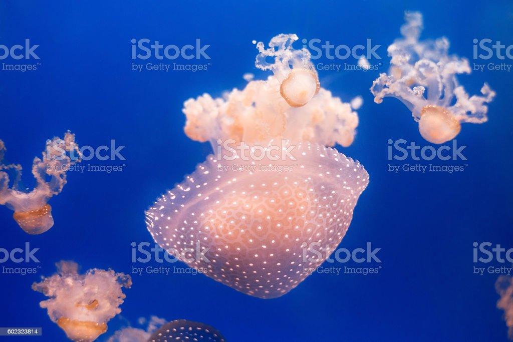 Jellyfish swimming in aquarium stock photo