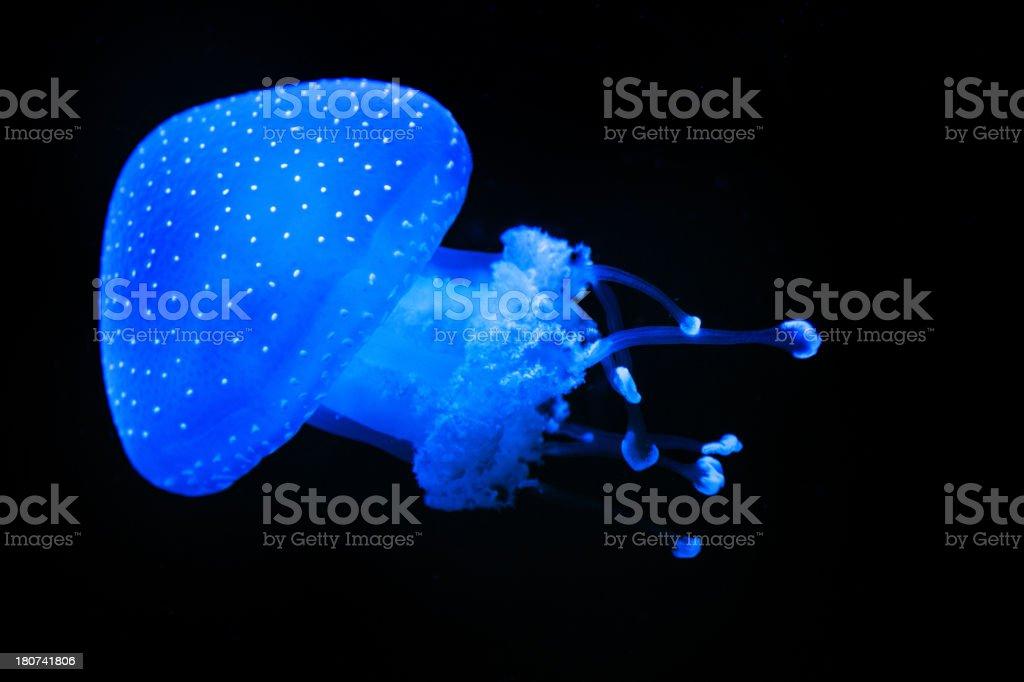 Jellyfish swimming royalty-free stock photo