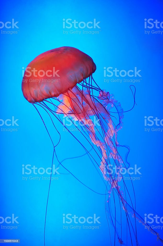 Jellyfish tentacles royalty-free stock photo