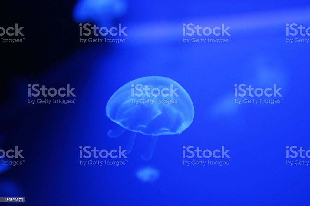Jellyfish, Translucent, Jelly Fish, Live Animals, Sea royalty-free stock photo