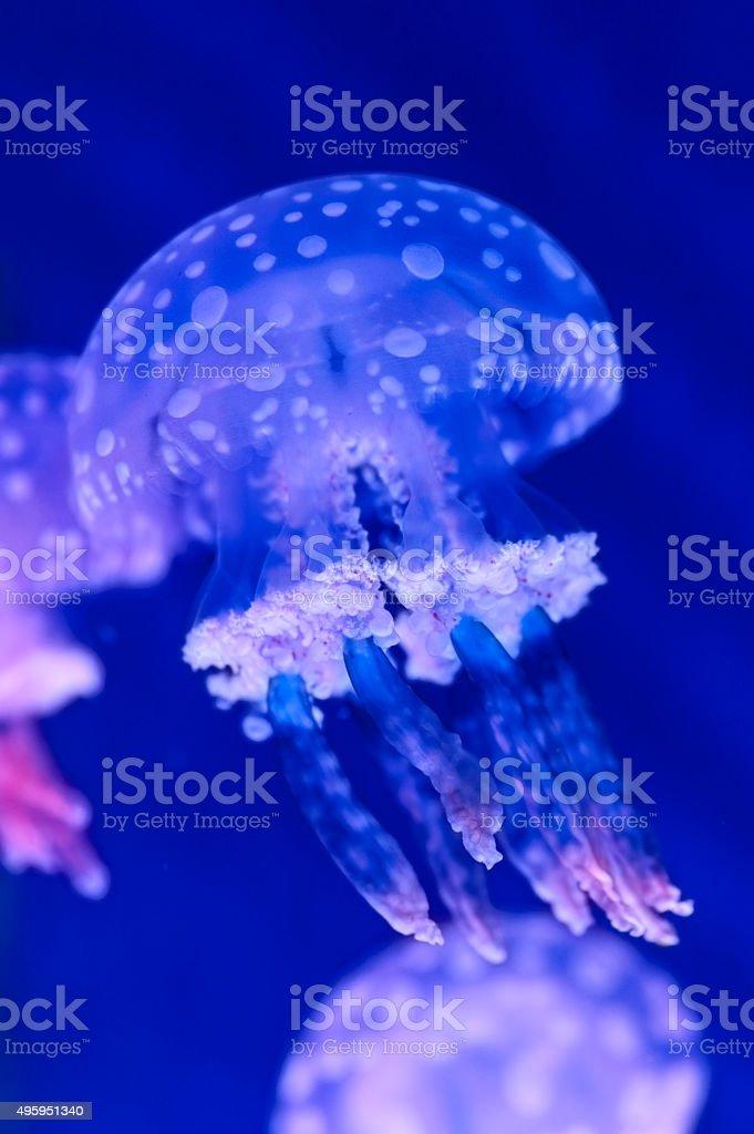 Jellyfish underwater stock photo