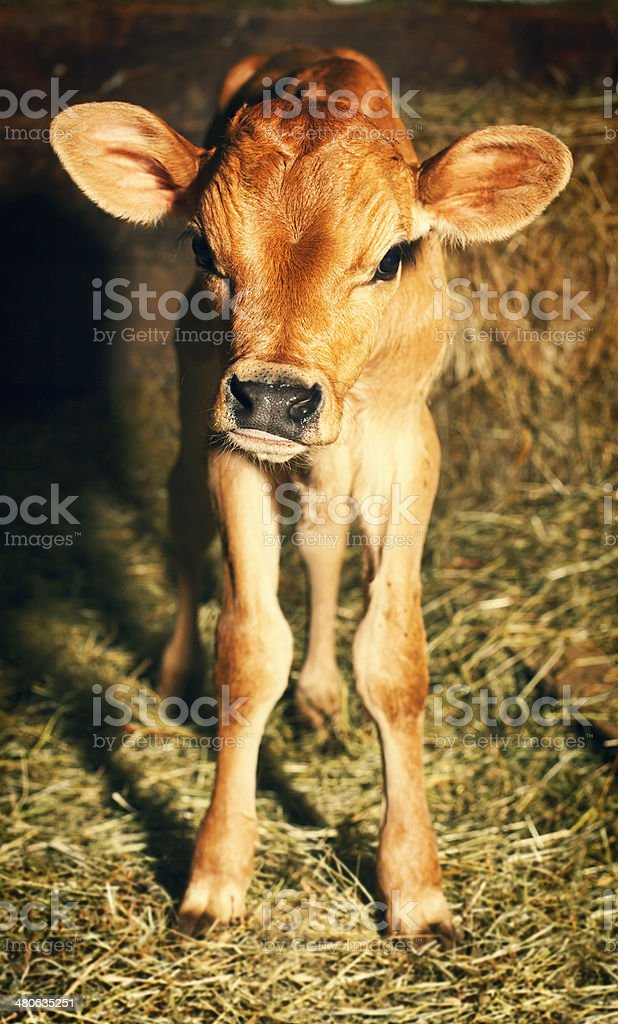 Jersey Calf stock photo