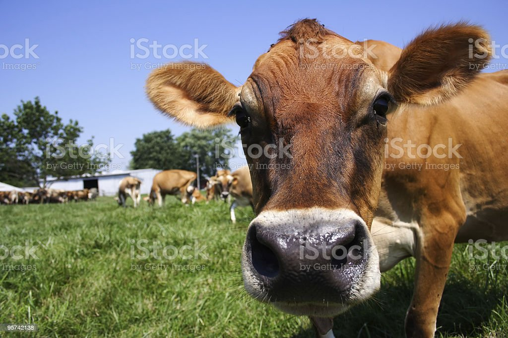 Jersey Cow Grazing royalty-free stock photo