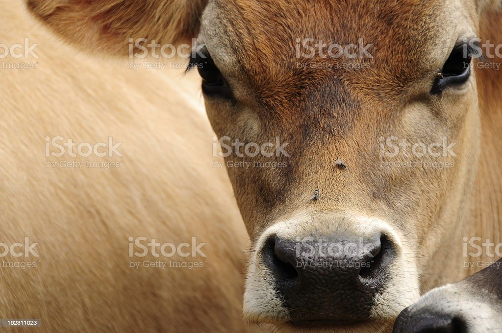 Jersey cow. stock photo