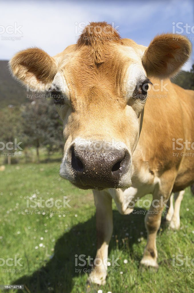 Jersey Cow stock photo