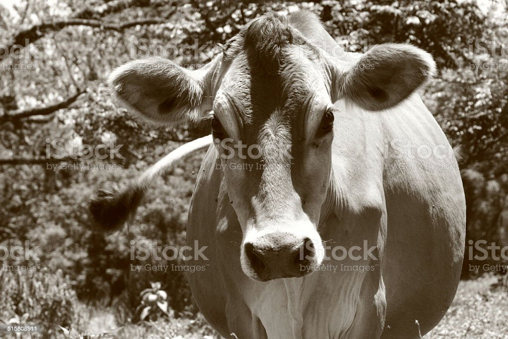 Jersey cow royalty-free stock photo