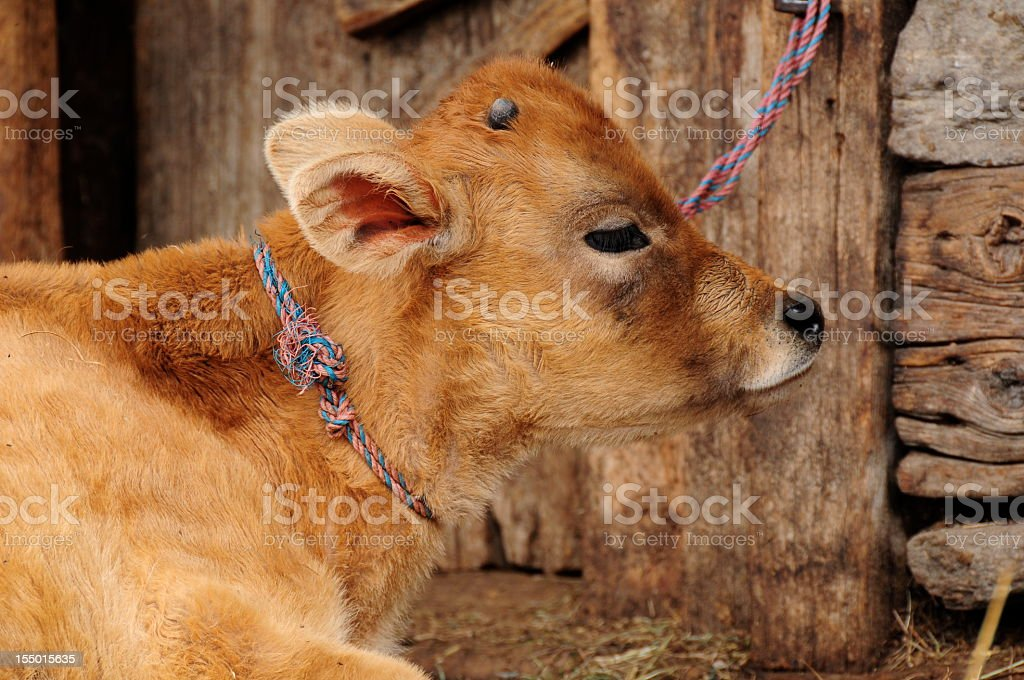 Jersey cow,Old Manali,Himachal Pradesh,India. royalty-free stock photo
