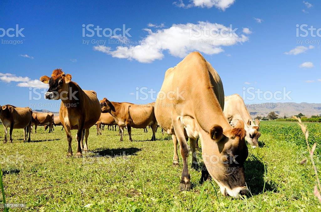 Jersey Cows Grazing stock photo