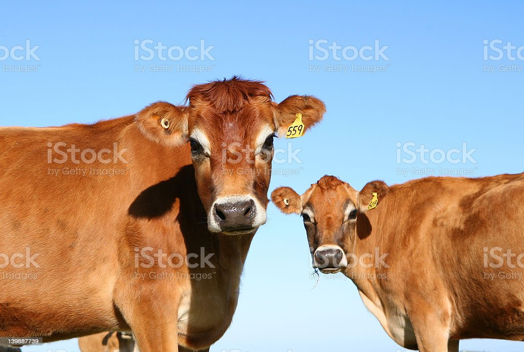 Jersey Cows stock photo