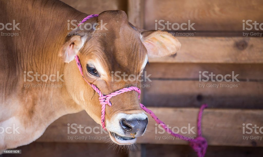 Jersey milk cow stock photo