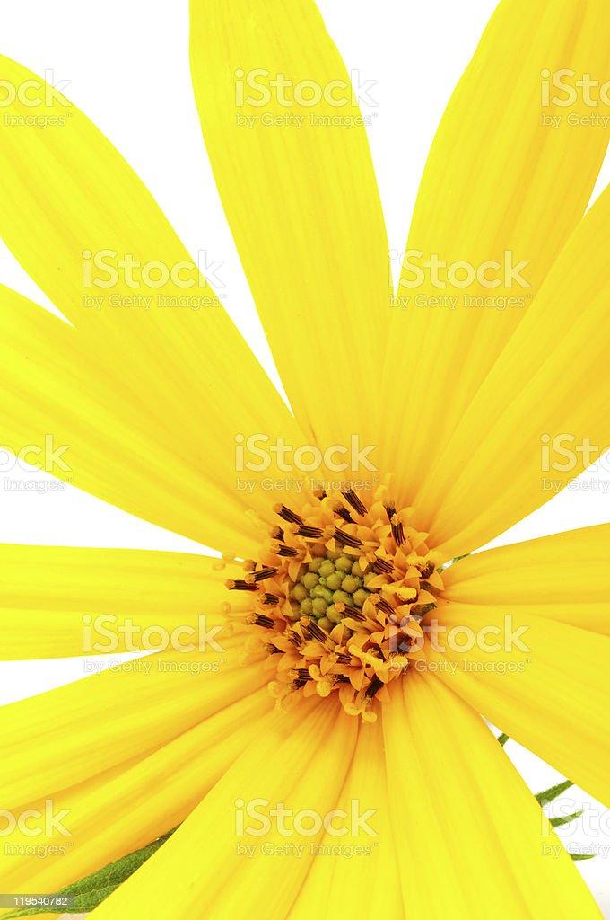 Jerusalem Artichoke Flower Closeup royalty-free stock photo