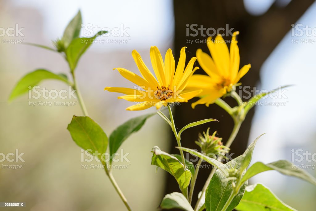 Jerusalem Artichoke Flower stock photo