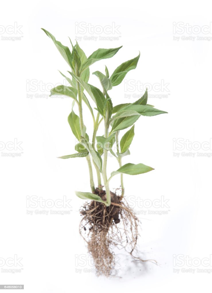 Jerusalem artichoke plant stock photo