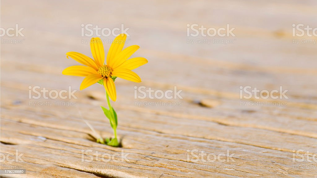 Jerusalem artichoke, Sunchoke royalty-free stock photo